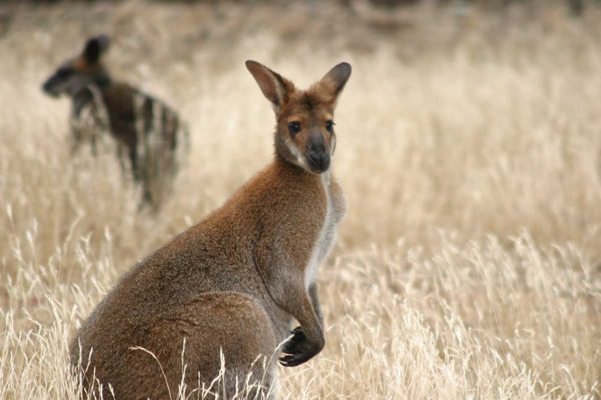 wallabies on safari