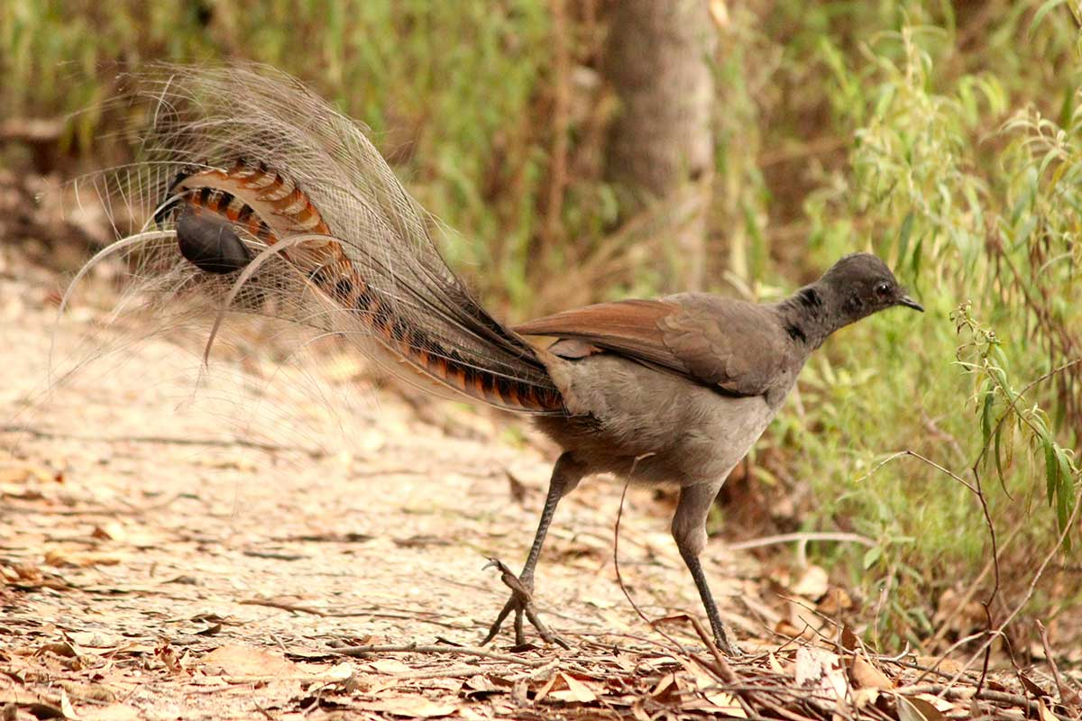 superb lyrebird on wildlife safari Australia