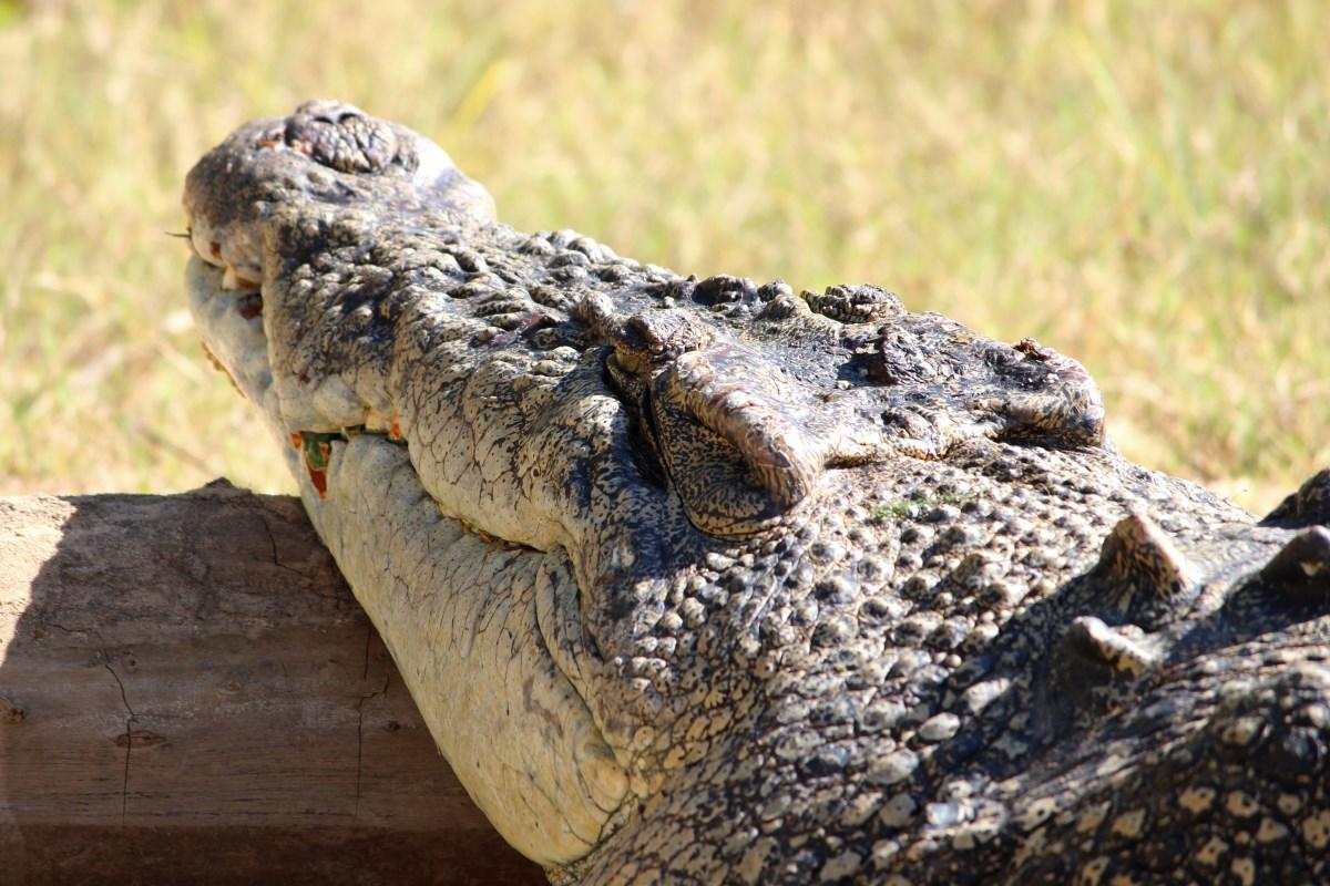 saltwaterCrocodile170814p07enh