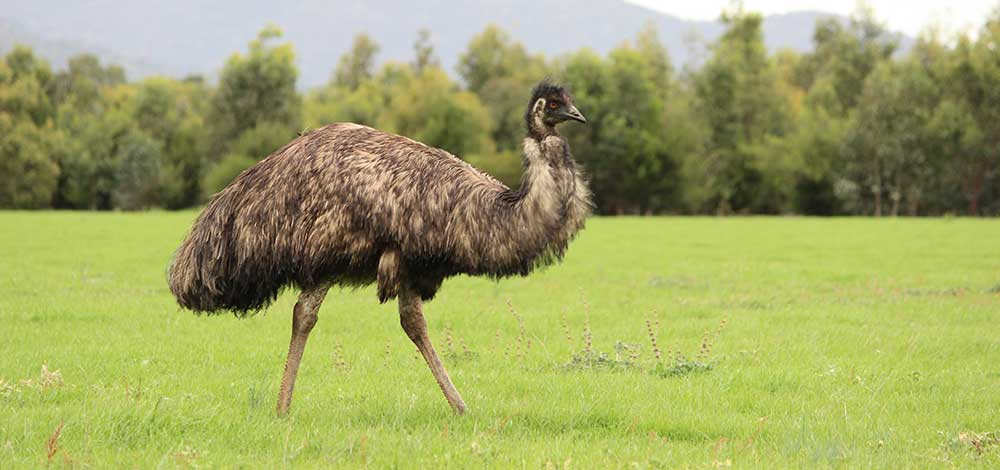 Australian animals tour wild emu