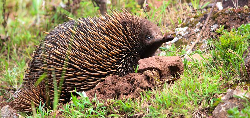 wildlife journey nature tour echidna