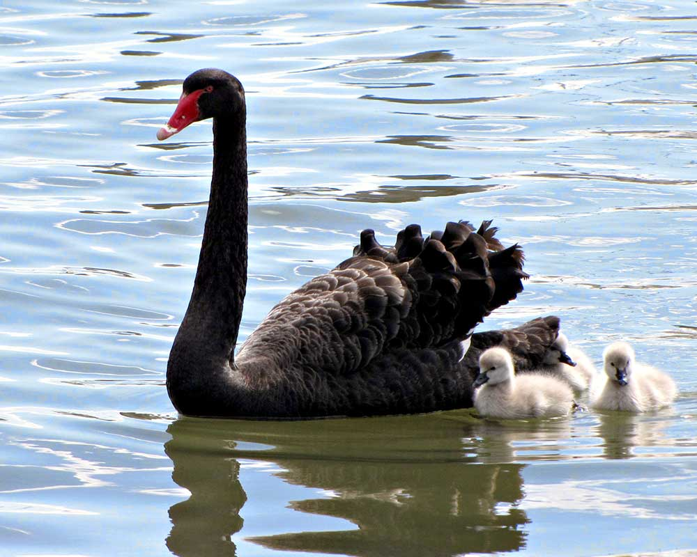 Black Swan with cygnets Australia