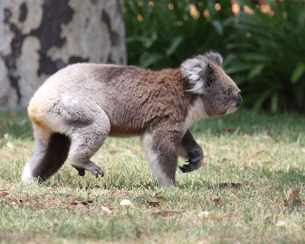 koala-walking-east-gippsland