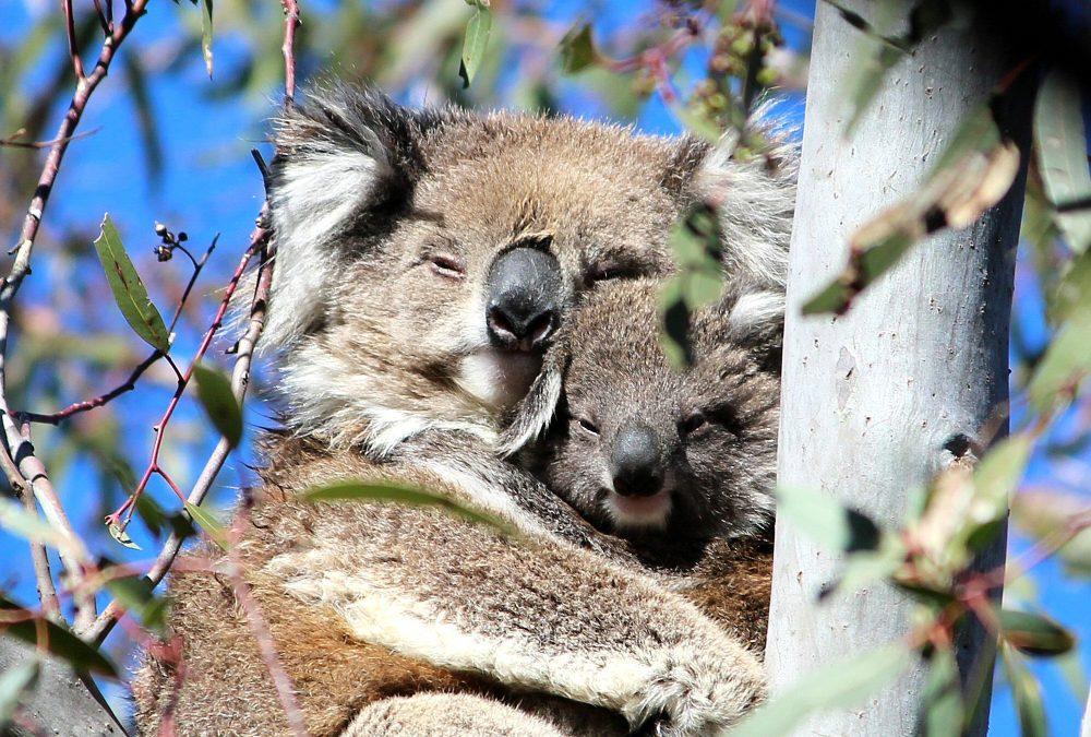 Wild Koala with Joey