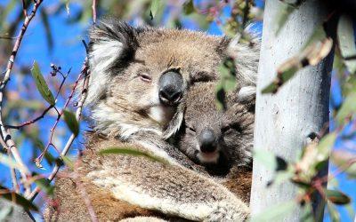5 Amazing Facts about Koala Joeys