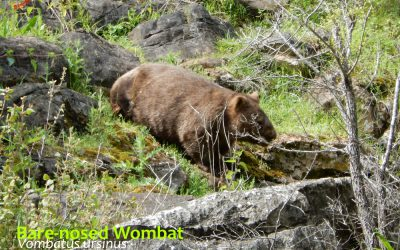 Wombats are not cute