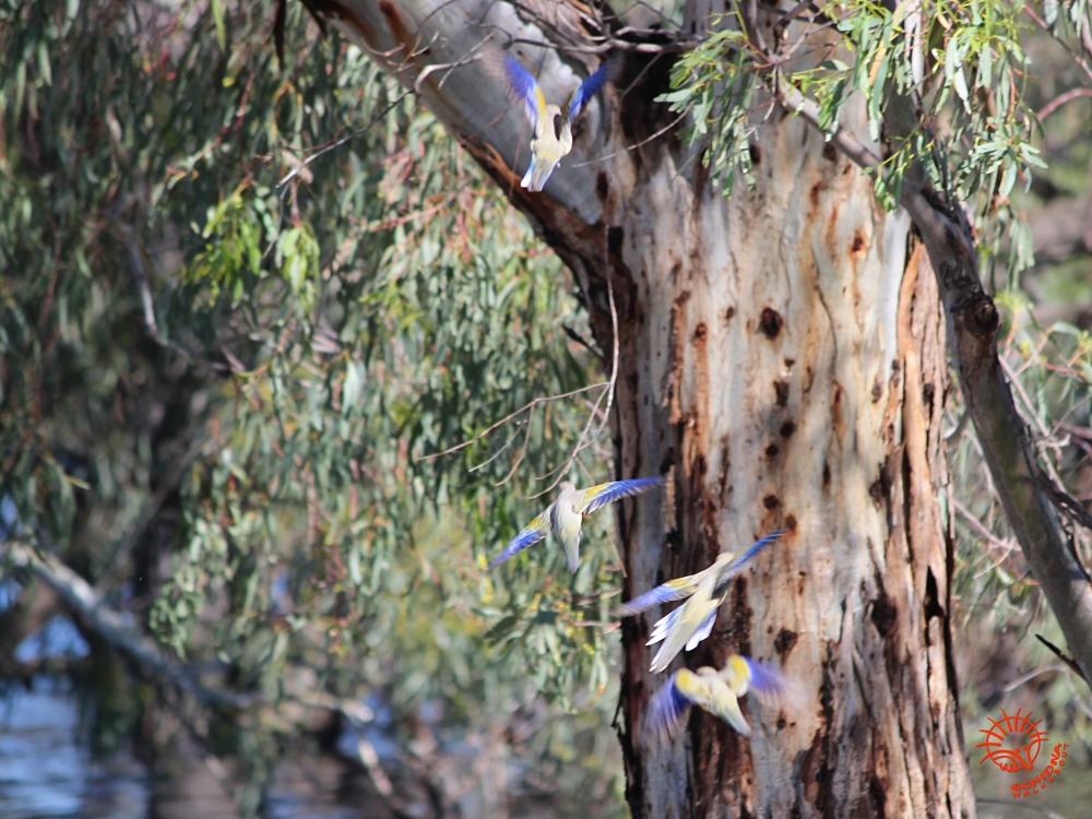 Blue-bonnet Parrots Mungo