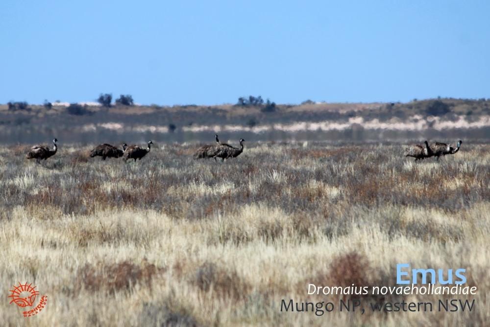 Emus Lake Mungo