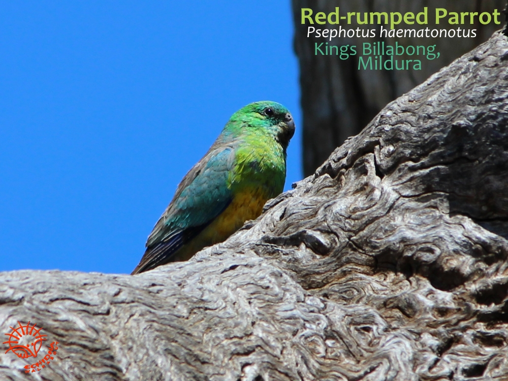 Red rumped Parrot at Mildura, near Mungo, Outback Australia