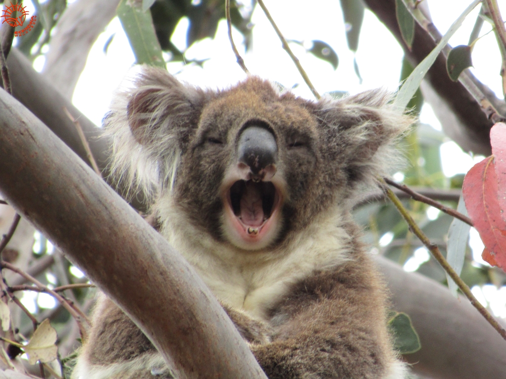 koalas are not docile