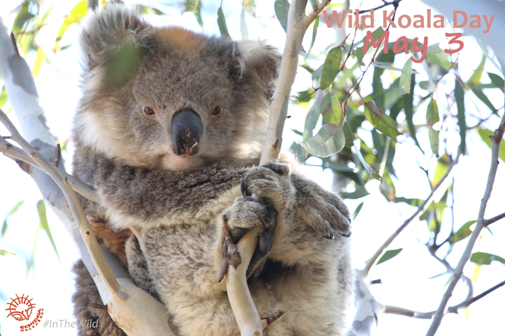 wild koala in a gum tree for Wild Koala Day