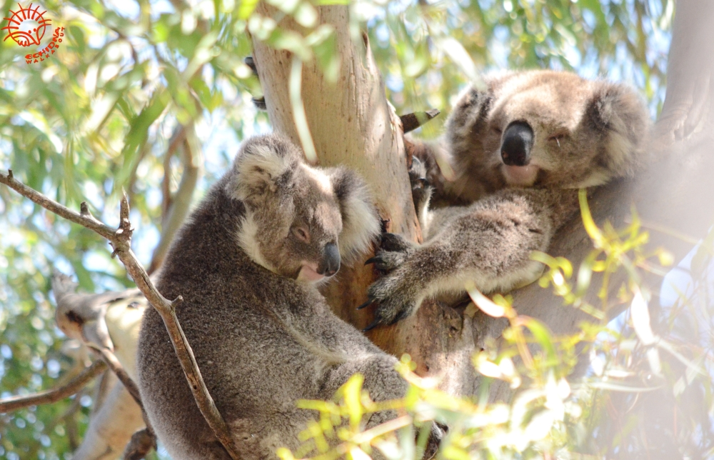 tree planting for koalas near Melbourne