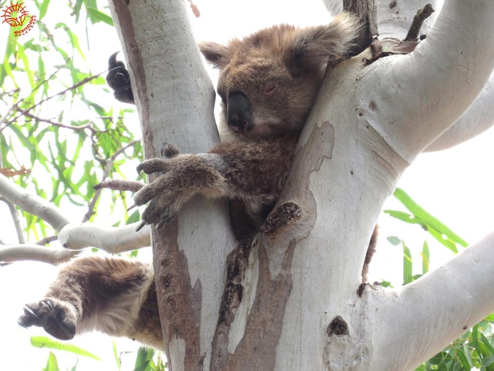 Are koalas high? 5 big...