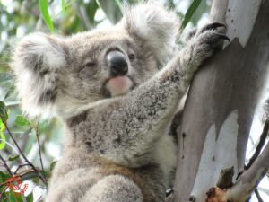Koala Conservation events