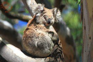 Koala Conservation Day