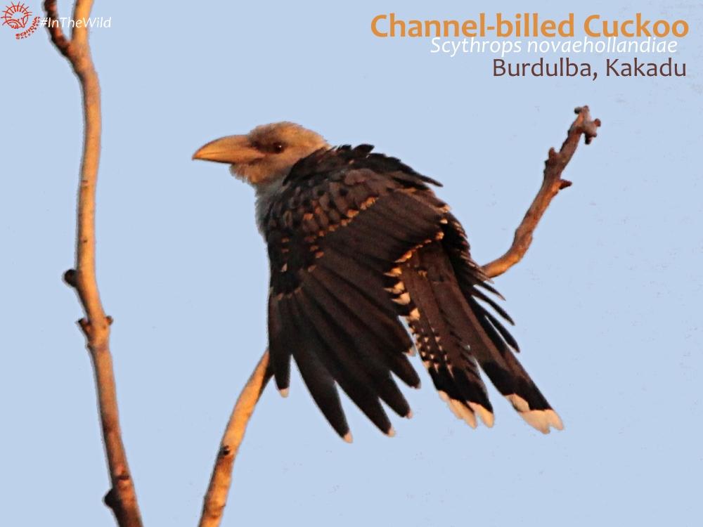 Weird birds in Australia Channel-billed Cuckoo