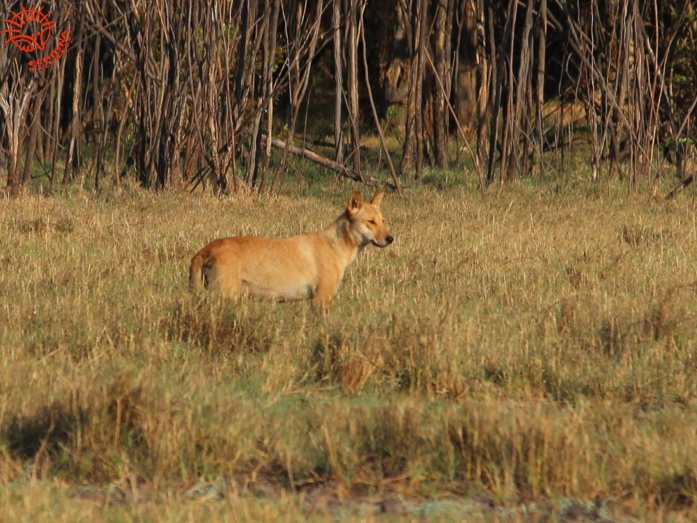 Dingo - Wild Top End wildlife tour