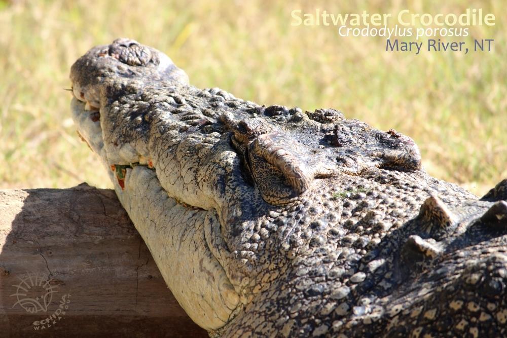 Australian Estuarine Crocodile Crocodylus porosus head