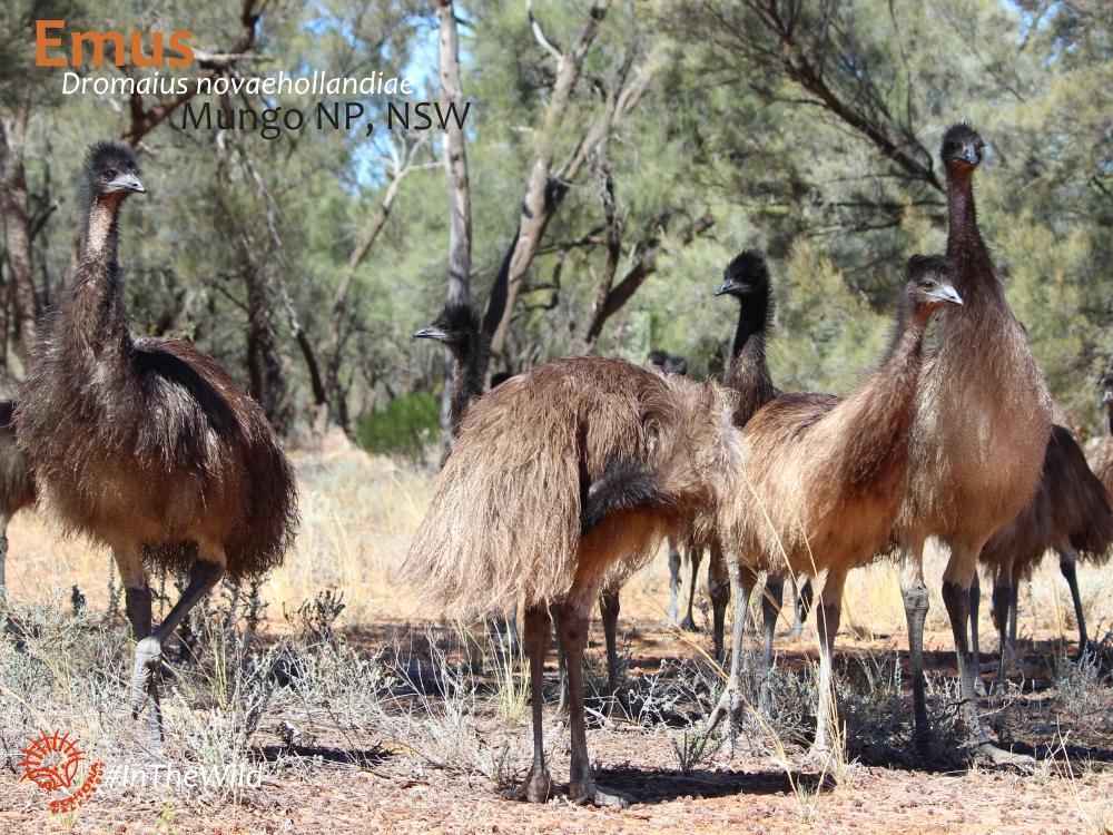 Mungo Emus