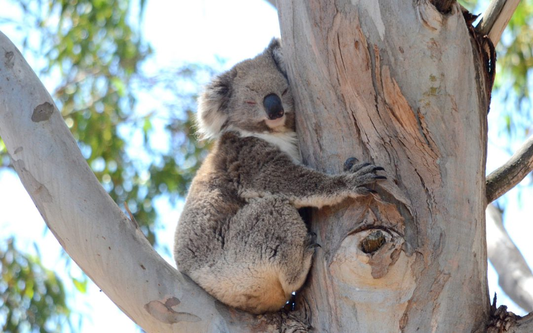 Koalas are always sleeping, right? WRONG.