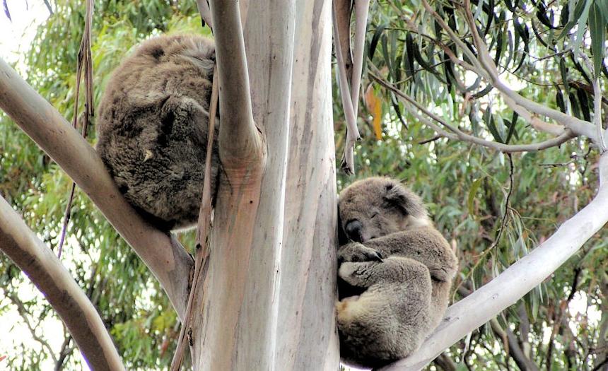 best time koalas together