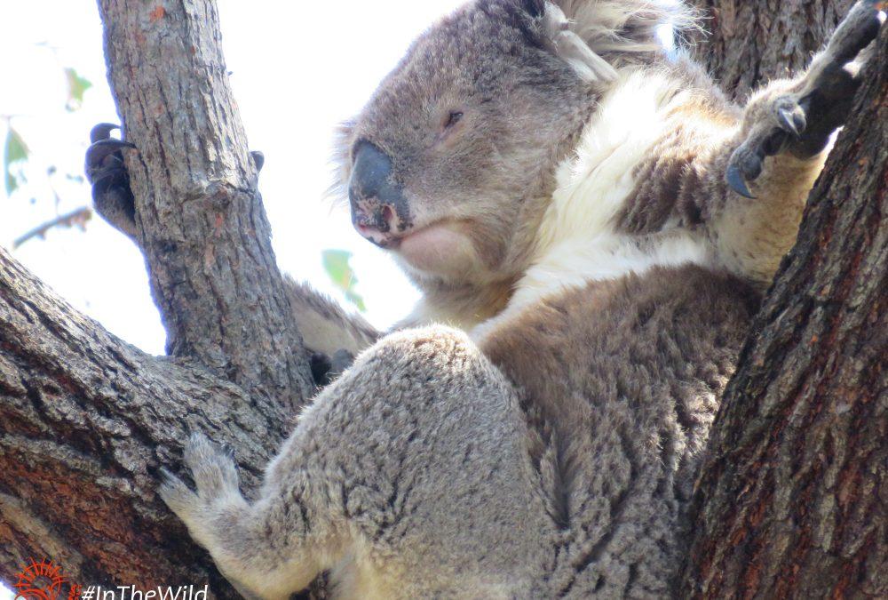 About Koala Anzac
