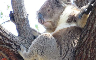 About Koala Anzac