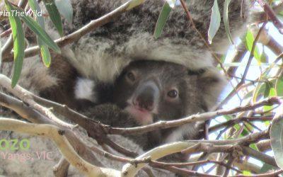 About Koala Kozo