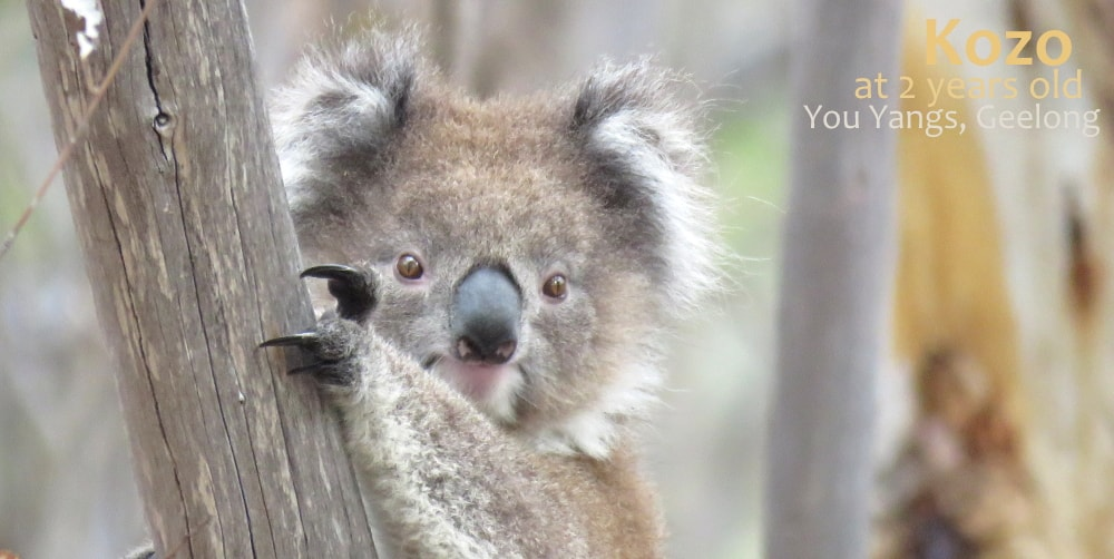 2 year old female koala kozo
