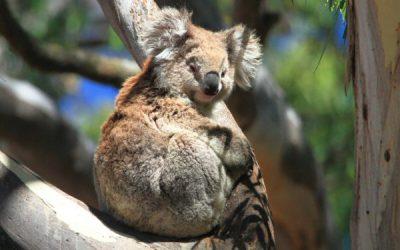About Koala Pat