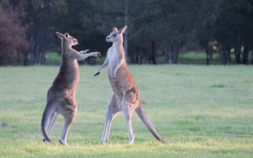 What's the best time to see Australian animals?