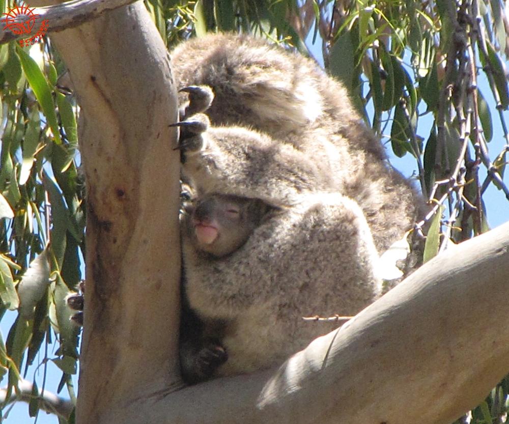 baby Koala Clancy