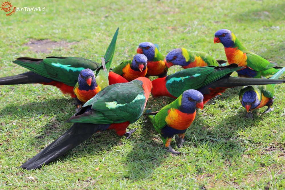 parrots of East Gippsland