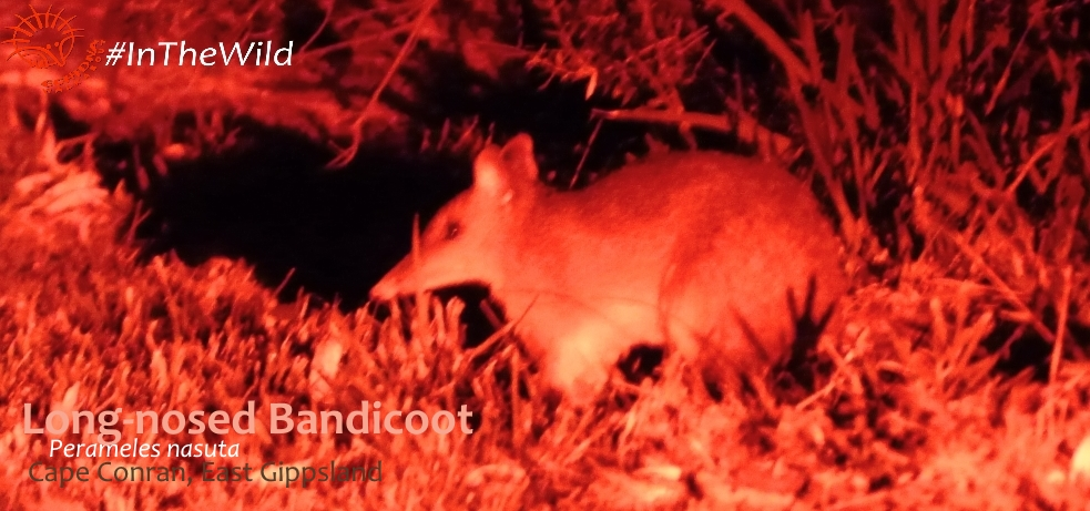 where to see bandicoots