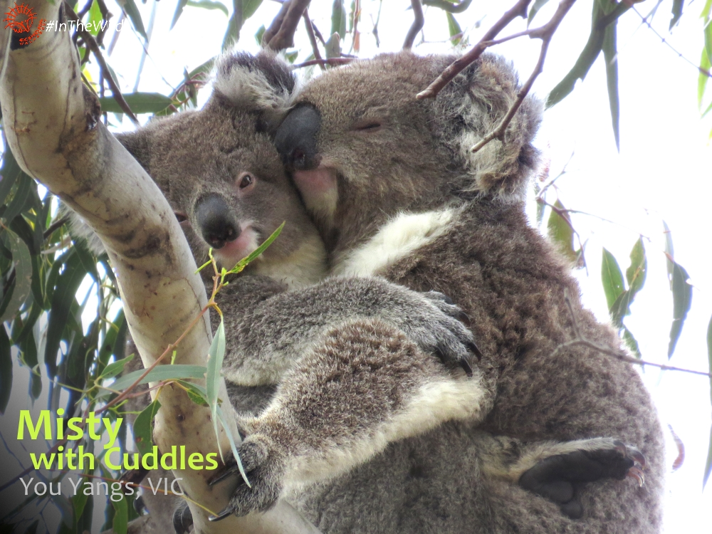 Koala mother cuddling joey