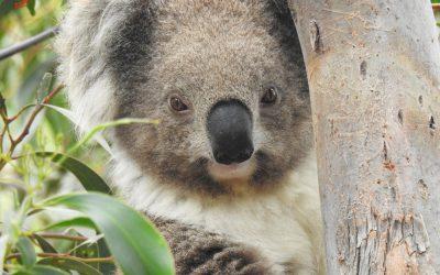 About Koala Misty