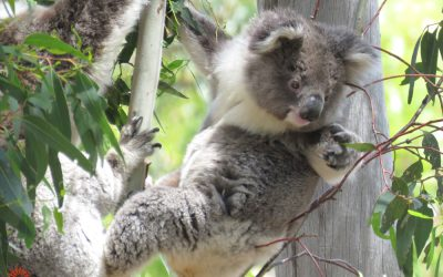 About Koala Cuddles