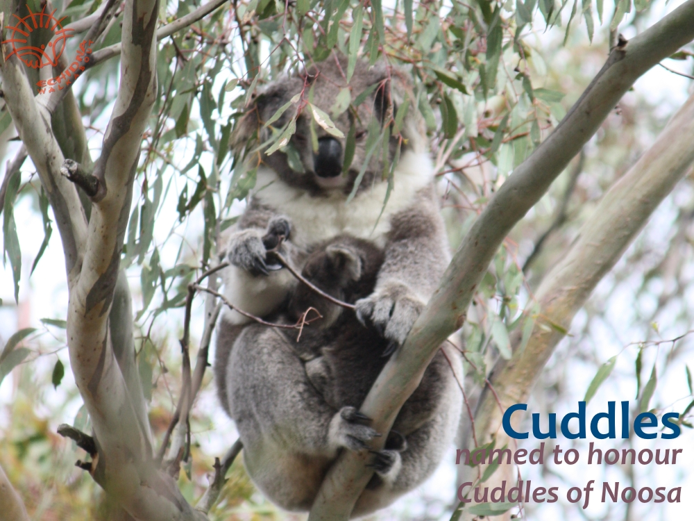 Cuddles koala tiny joey