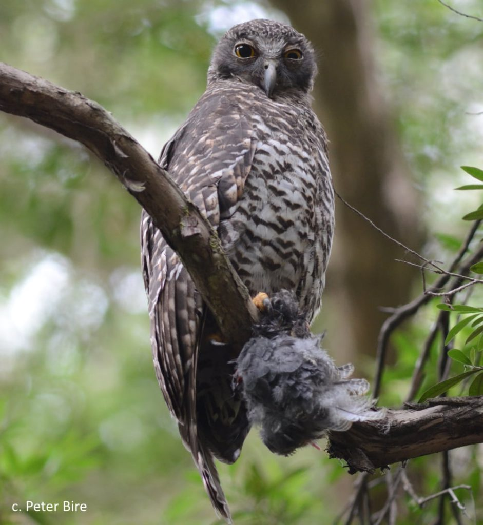 Polly Powerful Owl at Buchan Caves with bird