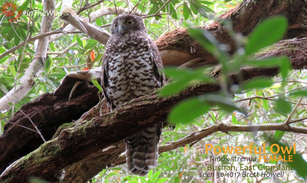 FEmale Powerful Owl Ninox strenua