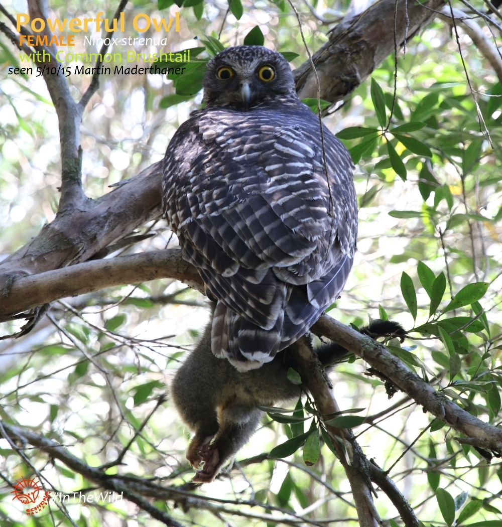 Powerful owl holding prey