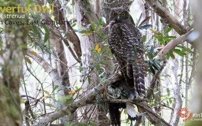 The Powerful Owls of Buchan, East Gippsland.