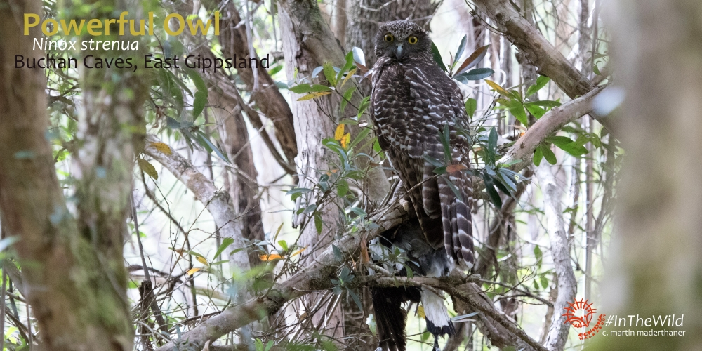 Powerful Owl East Gippsland