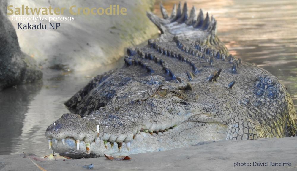 Saltwater Crocodile Kakadu