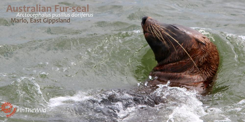 australian carnivorous mammals - Australian Fur-seal