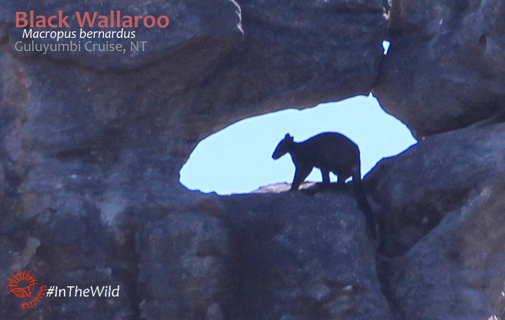 Black Wallaroo Guluyumbi Cruise Kakadu