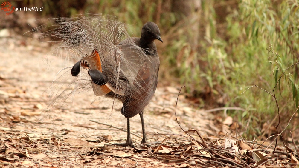 Superb Lyrebird preening showing wing