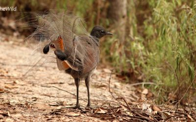 Lyrebirds can fly!