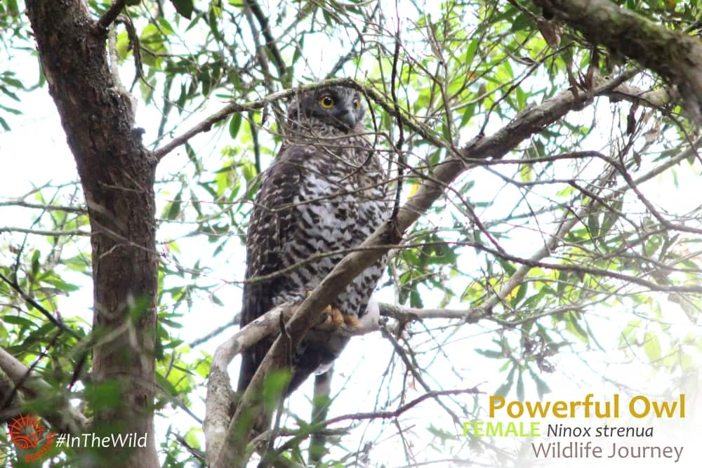 female Powerful Owl Buchan