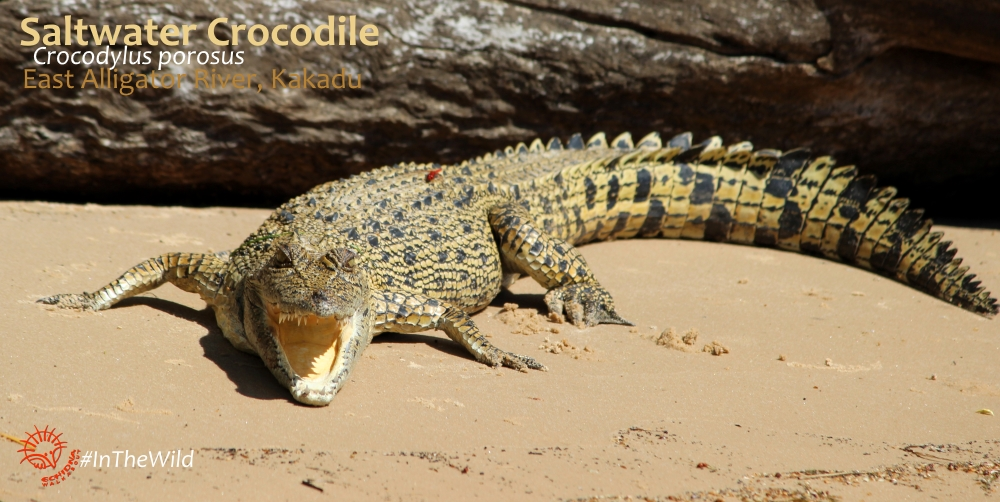 places to see most saltwater crocodiles